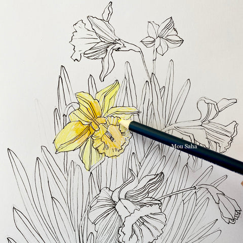 Daffodil sketch with Goldfaber color pencil