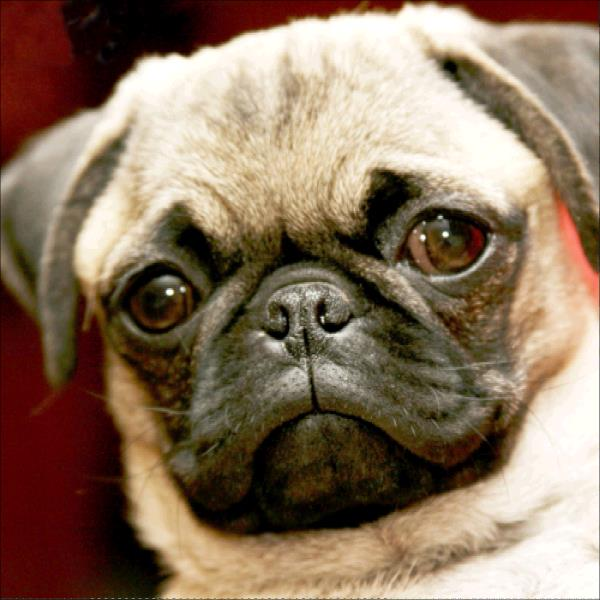 Cute Pug-DIY Diamond Painting