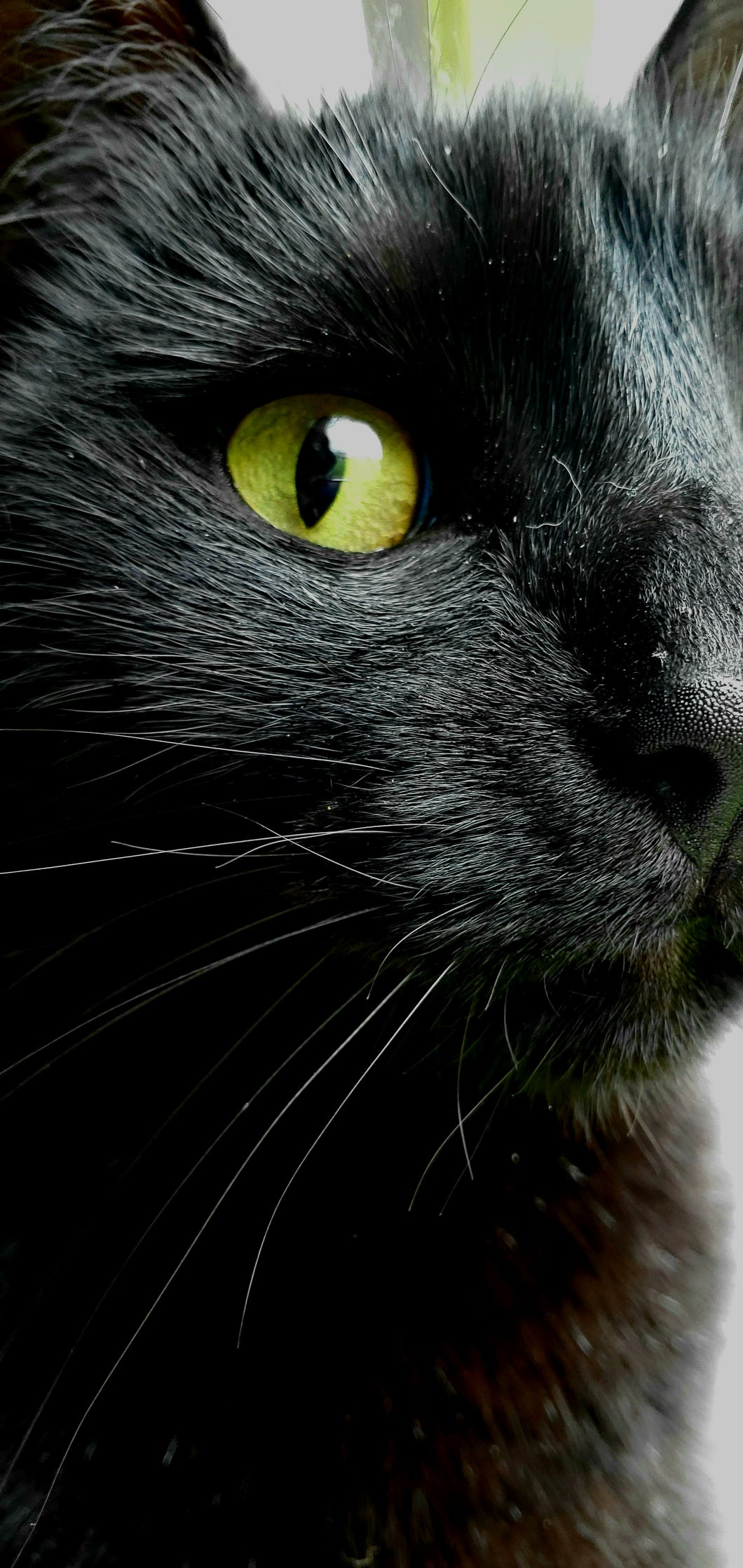 Black Cat with Yellow eye Up Close