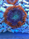 Ultra Rock Flower Anemone