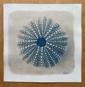 "Photographie cyanotype ""Oursin bleu"" 16X16"