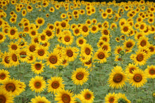 Load image into Gallery viewer, Sunflower | Flower Seed Kit 5540