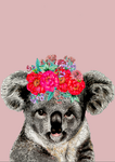 Koala On Colour