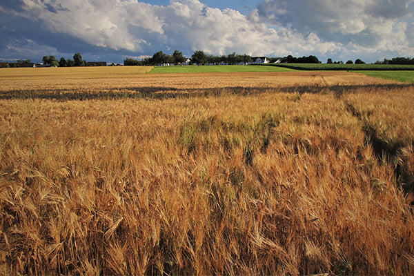 The wheat fields of Italy are the source for these treats.