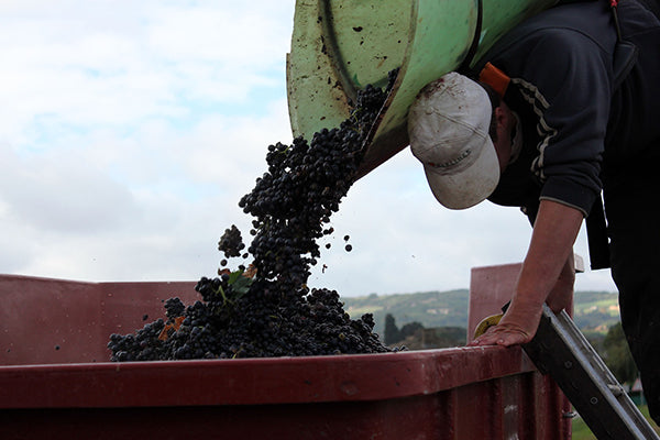 A wine harvester working in the vineyards of Beaujolais.