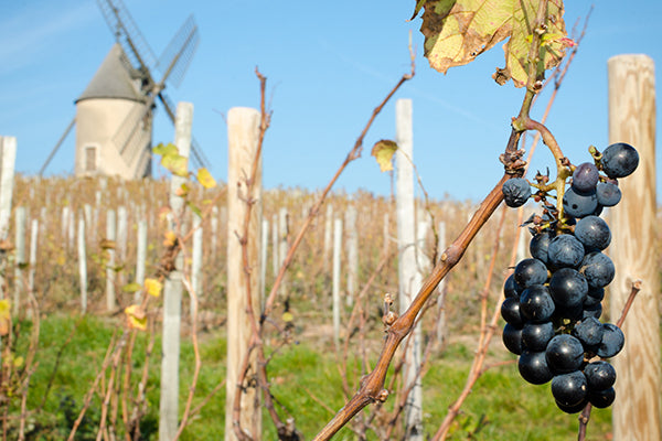 A cluster of gamay hanging in front of the famous windmill in Moulin-A-Vent.