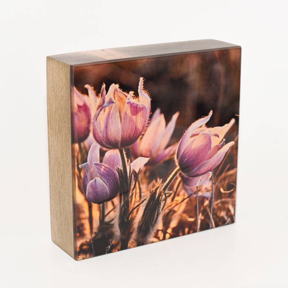 Prairie Crocuses, 5x5 Photo Block