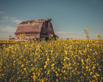 Barn In A Canola Field