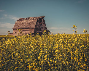 Barn In A Canola Field - 8x10