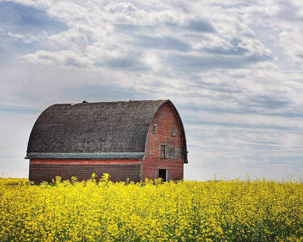 Round Barn In Canola Field