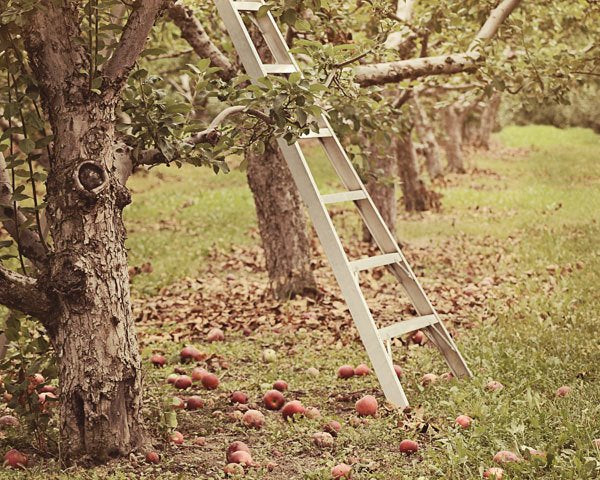 Apple Orchard Photo