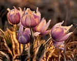 Prairie Crocus In Alberta