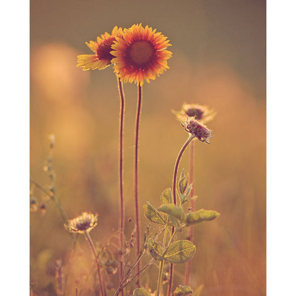 Prairie Sunflowers