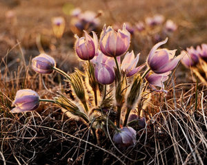 A Bunch Of Prairie Crocuses - 8x10