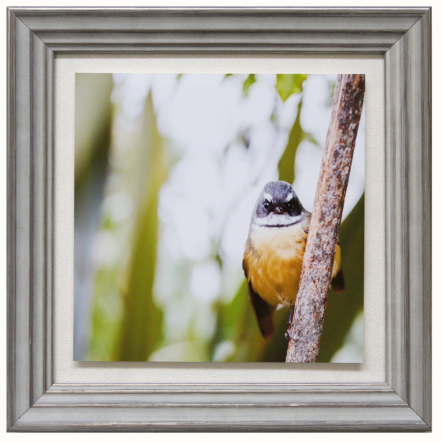 Limited edition fantail New Zealand bird framed michele Newman photographer
