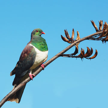 New Zealand native bird Kereru wood pigeon