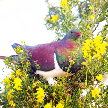 New Zealand native bird kereru wood pigeon on busy yellow flower