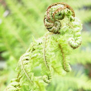 New Zealand native tree Punga Fern Koru dunedin