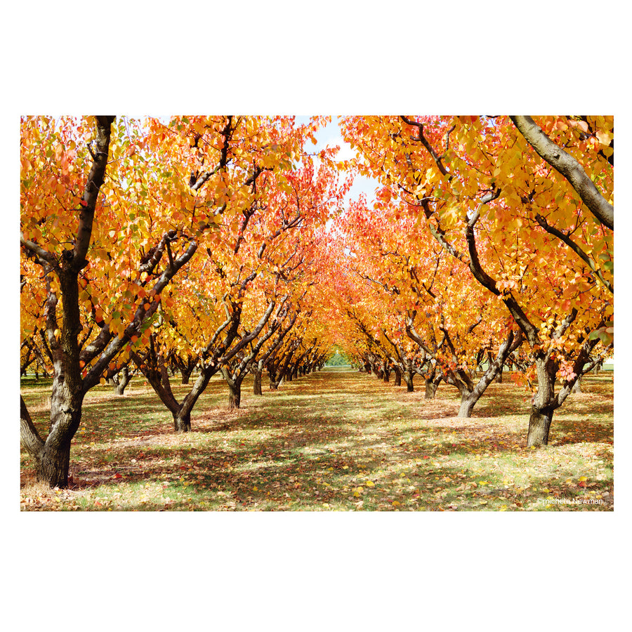 orchard gardens autumn trees, alexandra, central otago