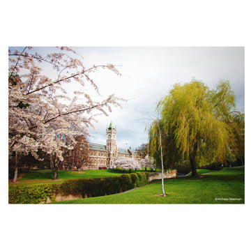 photo otago university clock tower with blossom and willow