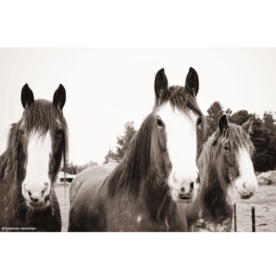photo clydesdales at middlemarch otago new zealand black and white