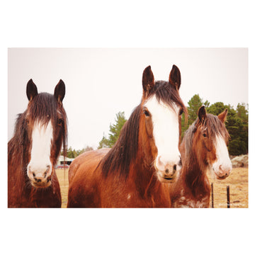 Three Clydesdales colour - Middlemarch - Otago