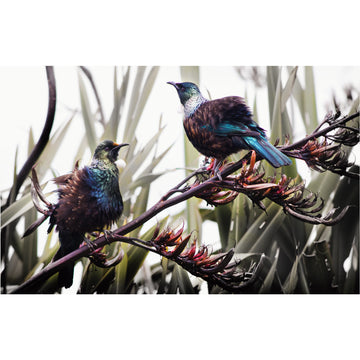 New Zealand native bird Two Tuis on Flax black and white mix dunedin new zealand