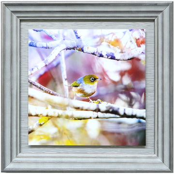 New Zealand native bird waxeye silvereye, dunedin by michele newman photographer