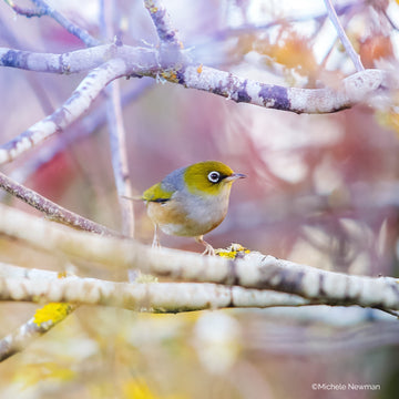 new zealand wax eye or silvereye bird photo ©starfishphotos