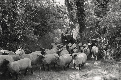 James Ravilious - Sheep Herding