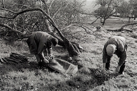 James Ravilious - Gathering Apples