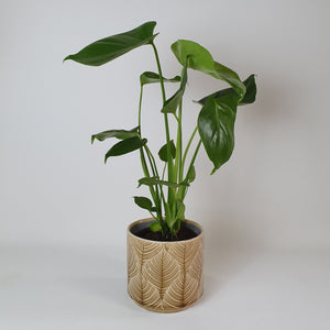 OUT OF STOCK Small Monstera Deliciosa in mustard 'leaf' pot.