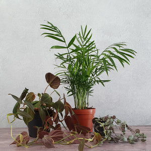 Houseplant Trio in ceramic pots - weekly selection