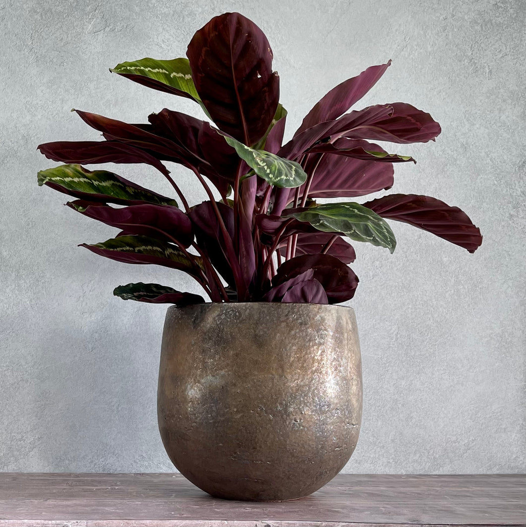 OUT OF STOCK Calathea Roseopicta -Medium/Large