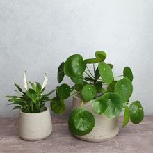 Load image into Gallery viewer, Houseplant selection- weekly pick
