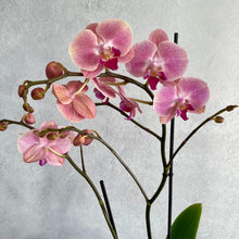 Load image into Gallery viewer, Phalaenopsis orchid in pot