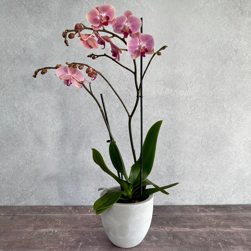 Phalaenopsis orchid in decorative pot