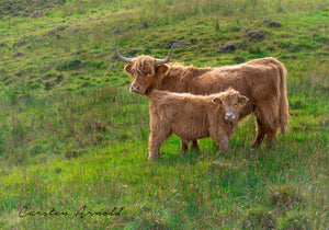 Highland Coos mother and calf canvas art