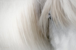 Icelandic Horse canvas art