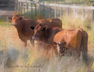 Three brown cows canvas print