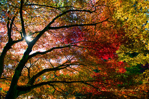Sunlight Through Fall Tree canvas art