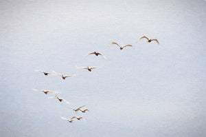 Trumpeter Swans Coming In