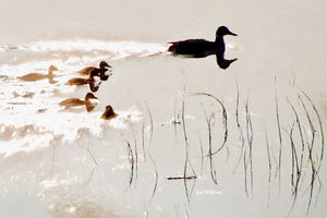 Duck Family in Silhouette