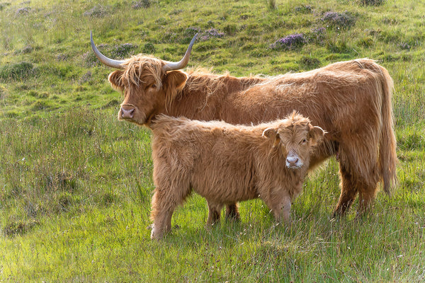 Highland Coos Mom and Calf