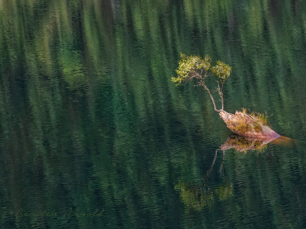 Lake Tree - Branch Growing Out of Lake With Reflections