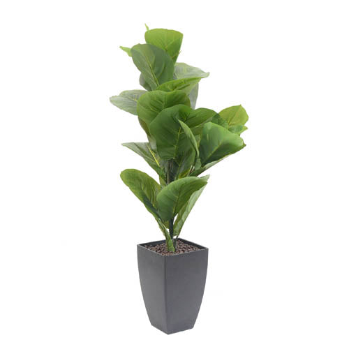 POT Plant Ficus Pandurate S