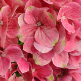 Hydrangea Printted x5 HOTPINK