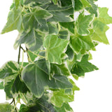 Hanging Ivy Bunch Variegated