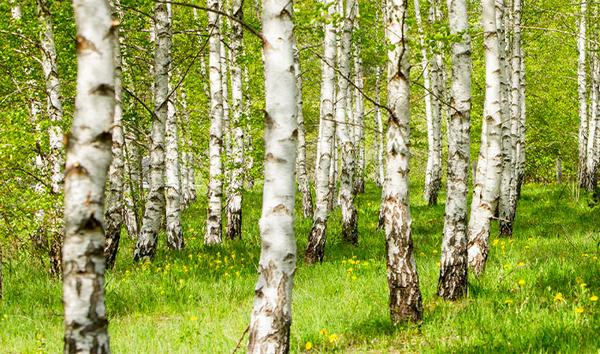 Everything you need to know about birch sap