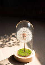 Preserved fun size dandelion dome perfect for teachers day gifting or to friendships for a gentle reminder on the simple joys and happiness everyday